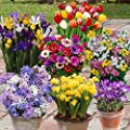 300 Spring Flowering Bulbs - 7 Colourful Varieties to Bring Your Garden To Life