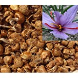 Pre-Order Fresh 2018 Saffron Bulbs 16 Pcs - Get Beautifull Flowers and Your Own Spice (dispatch in June from our organic garden) Crocus Sativus Corms