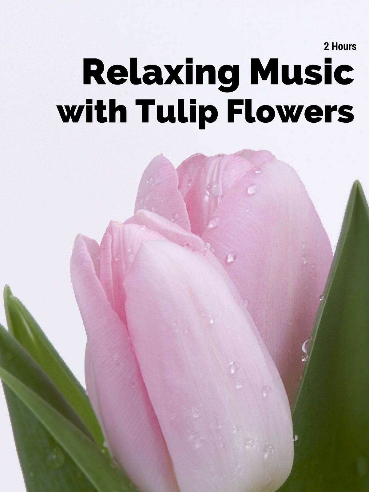 2 Hours Relaxing Music with Tulip Flowers