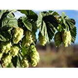 Chinook Beer Hops Vine - Humulus - Grow your own Beer! - 2.5