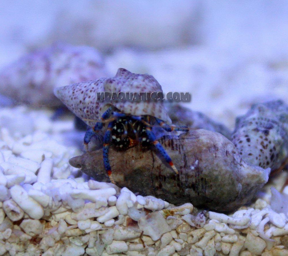 Blue Land Hermit Crab Blue Leg Hermit Crab 50 Lot