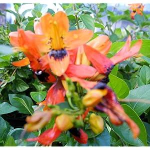Emeralds TM Unique Unusual Tropical Live Plant Orange Hummingbird Bush
