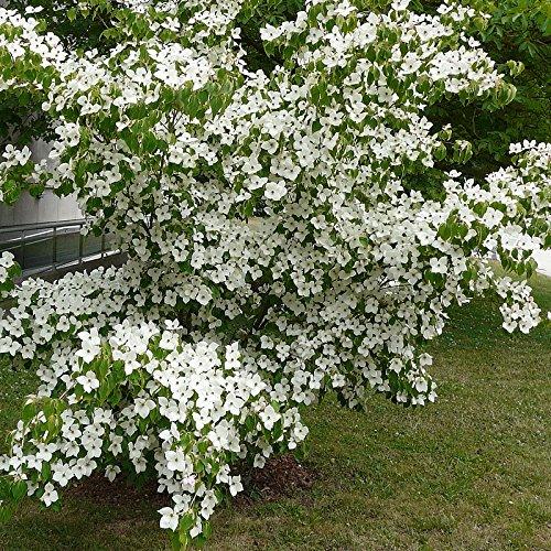 cornus-kousa-milki-way-cornouiller-a-grandes-fleurs-blanches-greffac