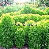 草の種子多年生100種子草燃える柴ホウキギScoparia種子ミニガーデン装飾用の簡単なファームプランターポットに成長