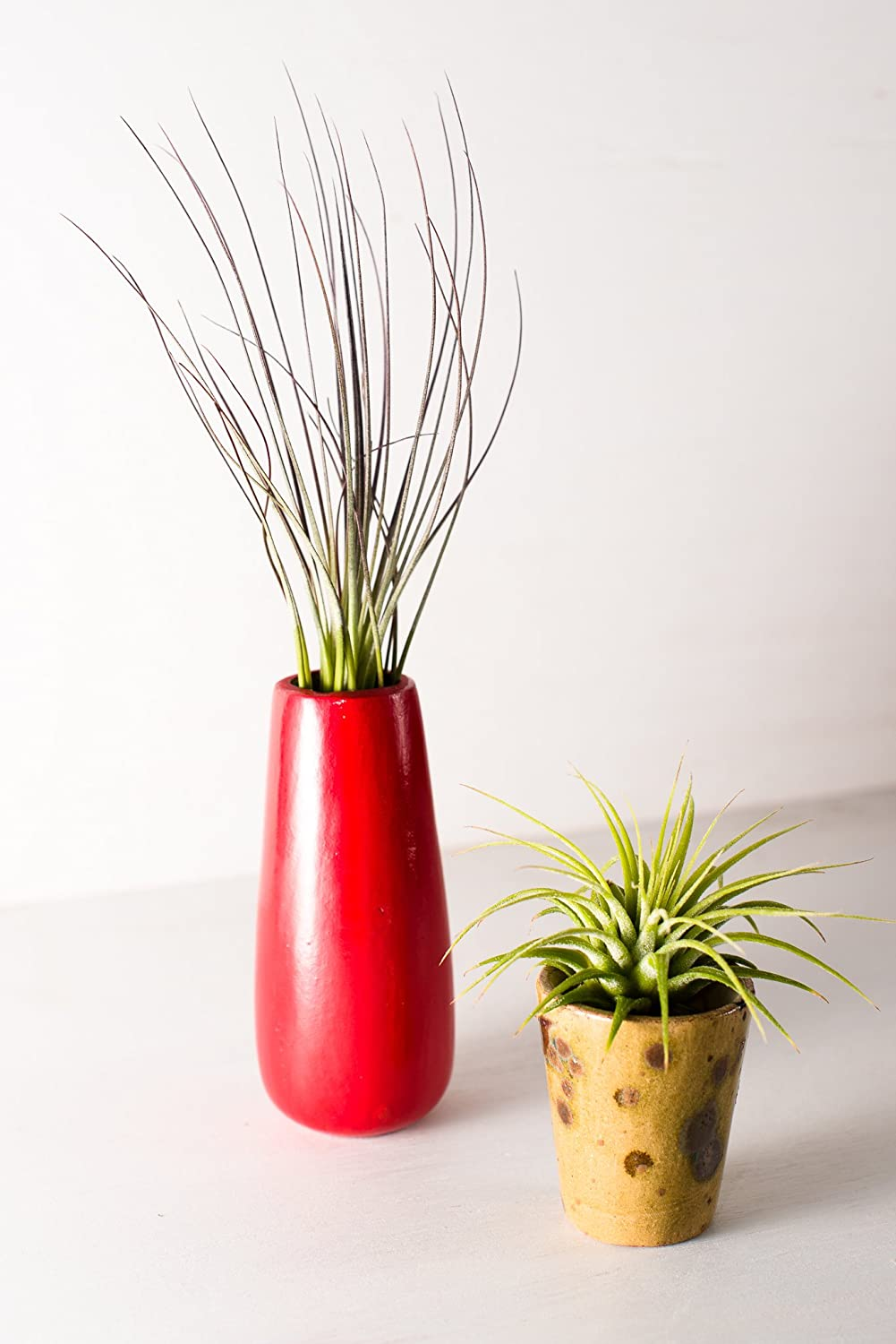 Hinterland Trading Air Plant Jucifolia and Ionantha Duo in Lovely Ceramic Vases