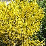 Goldglöckchen  Strauch gelb blühend