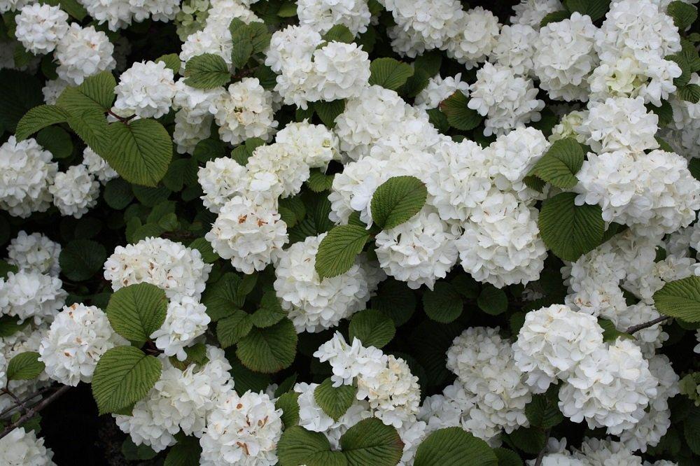'Popcorn' Japanese Snowball Bush