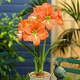 Ture Amaryllis Bulbs Hippeastrum Flowers Hippeastrum Bulbs Bonsai Rare Flower Bulbs Home Garden Plant -2pcs/Bag (Color: 6#)
