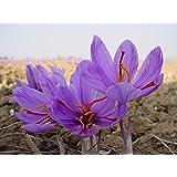 25 Saffron Plant Bulbs - Crocus Sativus - The World's Most Expensive Spice
