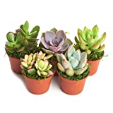 Shop Succulents Real Live Succulents/Unique Indoor Cactus Decor/Terrarium/DIY Plants (5 Pack), Fully Rooted in Planter Pots with Soil (Tamaño: 1-Pack)
