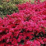 Gartenazalee rot - 1 strauch