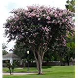 LARGE BASHAM'S PARTY PINK CRAPE MYRTLE, 2-4ft Tall When Shipped, FASTEST GROWING CRAPE MYRTLE, Matures 30ft, 1 Tree, Delicate Light Pink (Shipped Well Rooted in Pots with Soil) (Color: Delicate Light Pink)