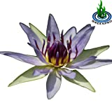(Nymphaea Colorata) Hardy Water Lily Tuber Live Water Plants for Pond Balcony Porch Decorations by Greenpro (Color: Nymphaea Colorata)