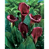Van Zyverden Callas Bulbs (Set of 5), Majestic Red (Color: Majestic Red, Tamaño: 14/16 cm)