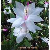 Christmas - Thanksgiving - Holiday Cactus - White - 1 Plant = 4