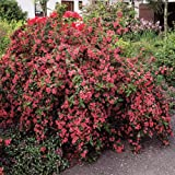 Weigela Bristol Ruby - 2 shrubs