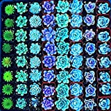 Seeds Shopp Semillas De Flores 200 lithops Seed Pseudotruncatella Succulents Raw Stone Cactus Seeds Stems Tetragonia Potted Flowers Fleshy Cheap!
