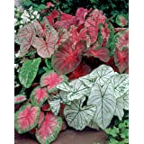 Van Zyverden Caladiums- Fancy Leaf Mixed - Set of 12 Bulbs (Color: Mixed, Tamaño: #2)
