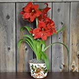 Amaryllis Ferrari in a Holiday Partridge Bowl - Potted Amaryllis Gift! | Ships from Easy to Grow TM … (Color: Partidge)