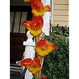 Gladiolus dalenii | African Parrot Gladiola | 20_Seeds TO US