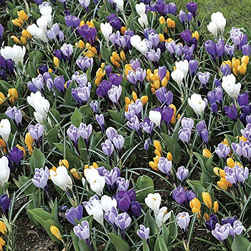 20-crocus-bulbs-Spring-Flowering-Bulbs-Special-Offer-Top-Quality