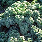 Winterbor Hardy Kale 4 Plants - Very Winter Hardy