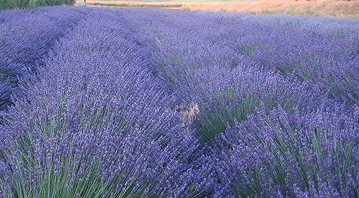 Organic Lavender Flowers Lavender Buds Flowers