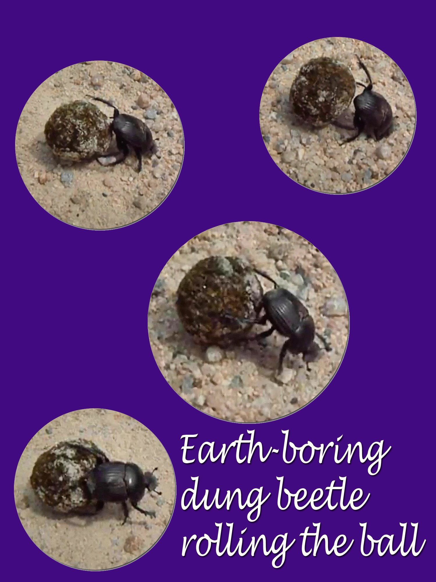 Clip: Earth boring dung beetle rolling the ball