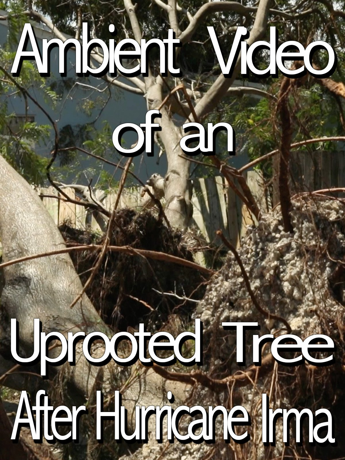 Ambient Video of an Uprooted Tree After Hurricane Irma