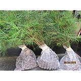 QTY-3 eastern white pine starter trees 3 foot tall evergreen transplant seedlings #SLV