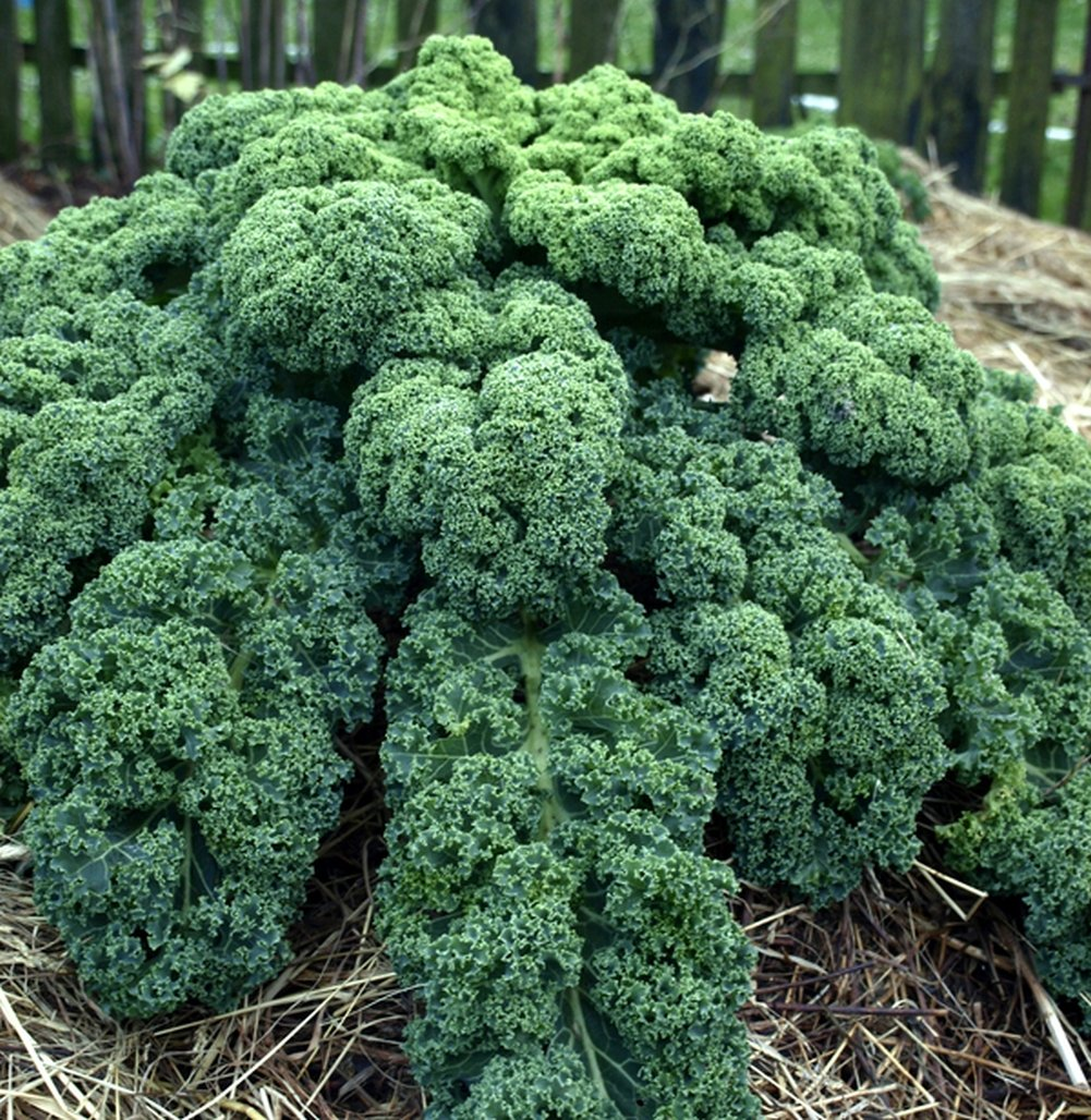 Blue Scotch Kale