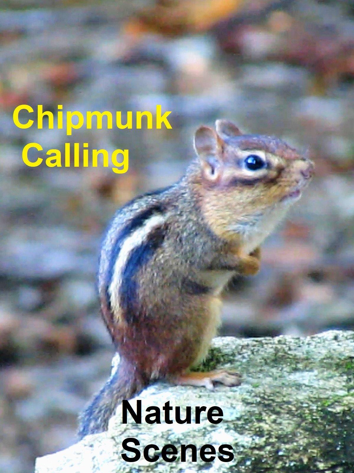 Chipmunk Calling