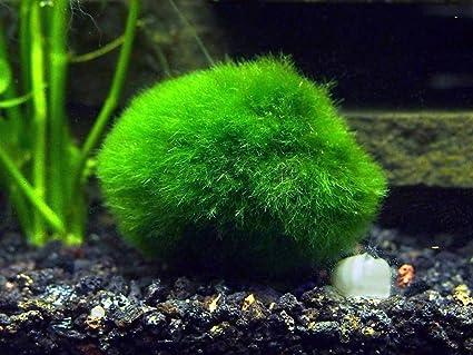 Moss Ball Petsmart 2 Giant Marimo Moss Balls