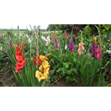 500 + GLADIOLA BULBLETS [BULBILS] 20+ MIX COLORS