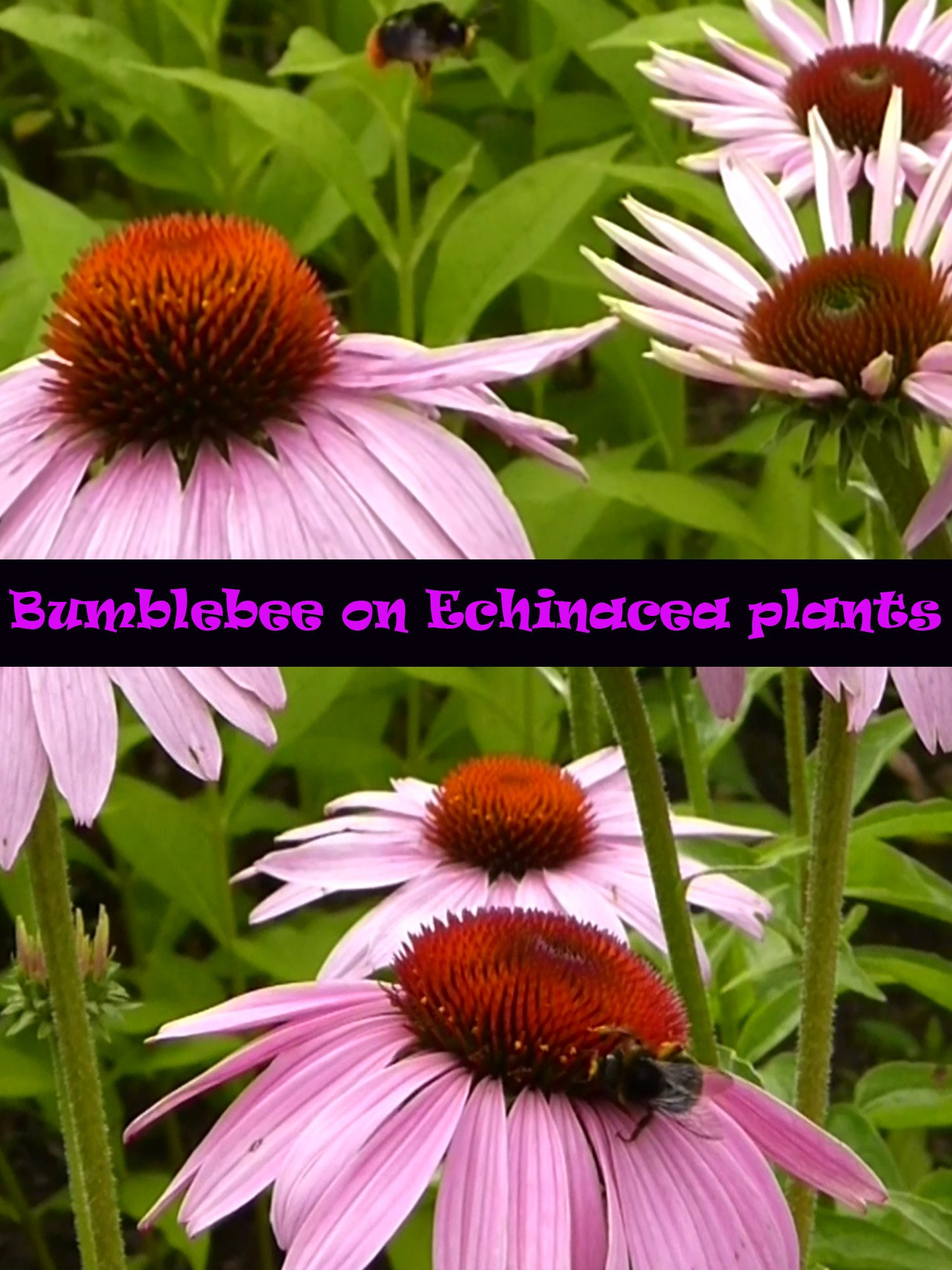 Clip: Bumblebee on Echinacea plants