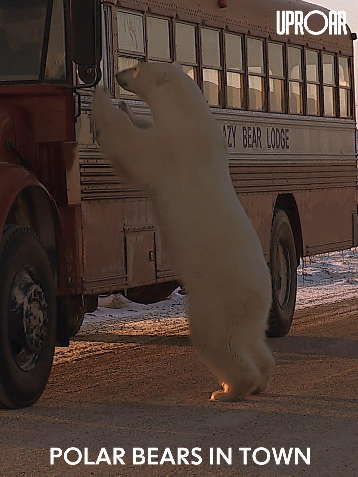 Clip: Polar Bears in Town