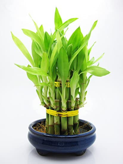 7 Stalks Of Lucky Bamboo Layer Cake Lucky Bamboo