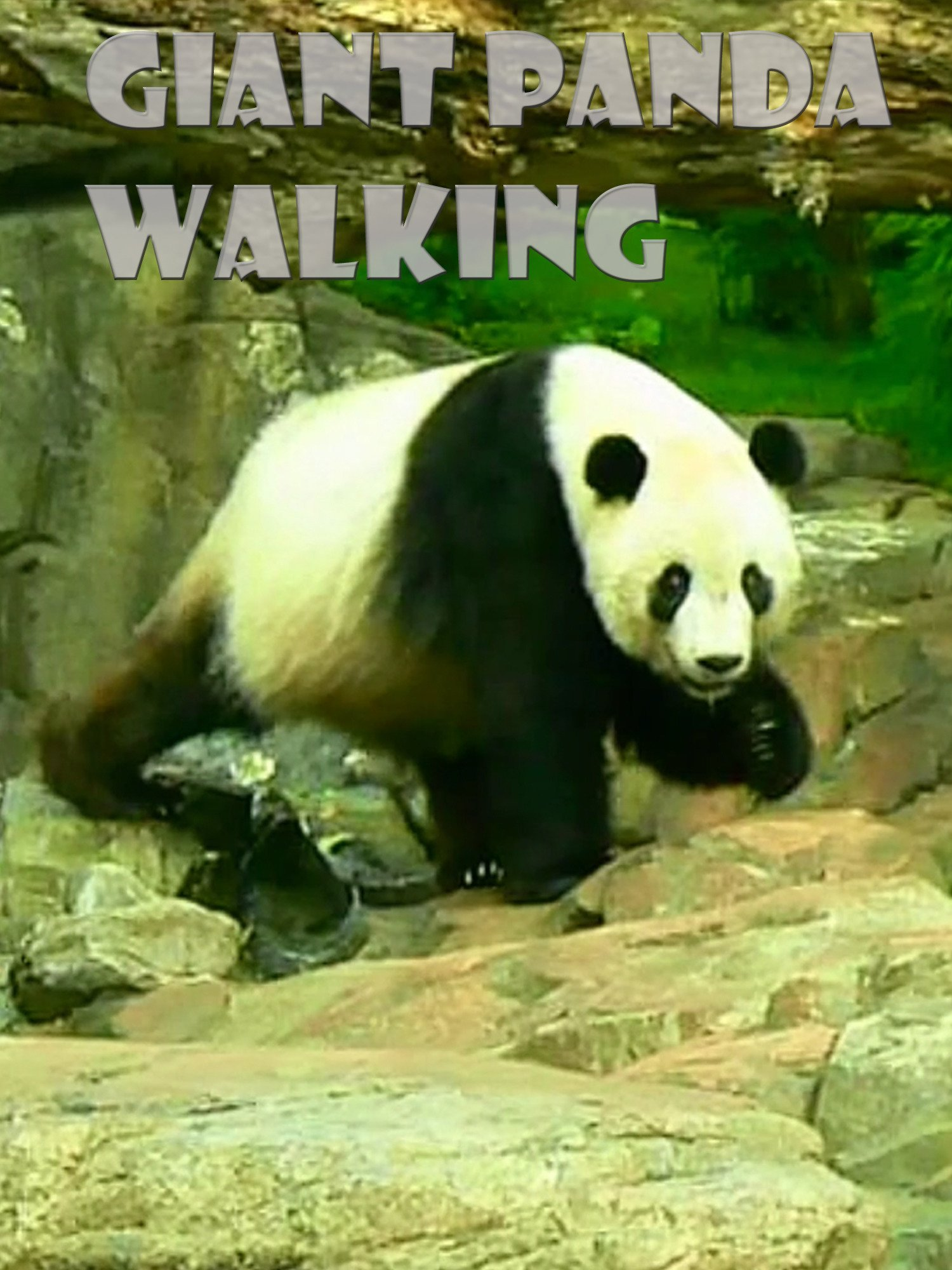 Clip: Giant Panda Walking