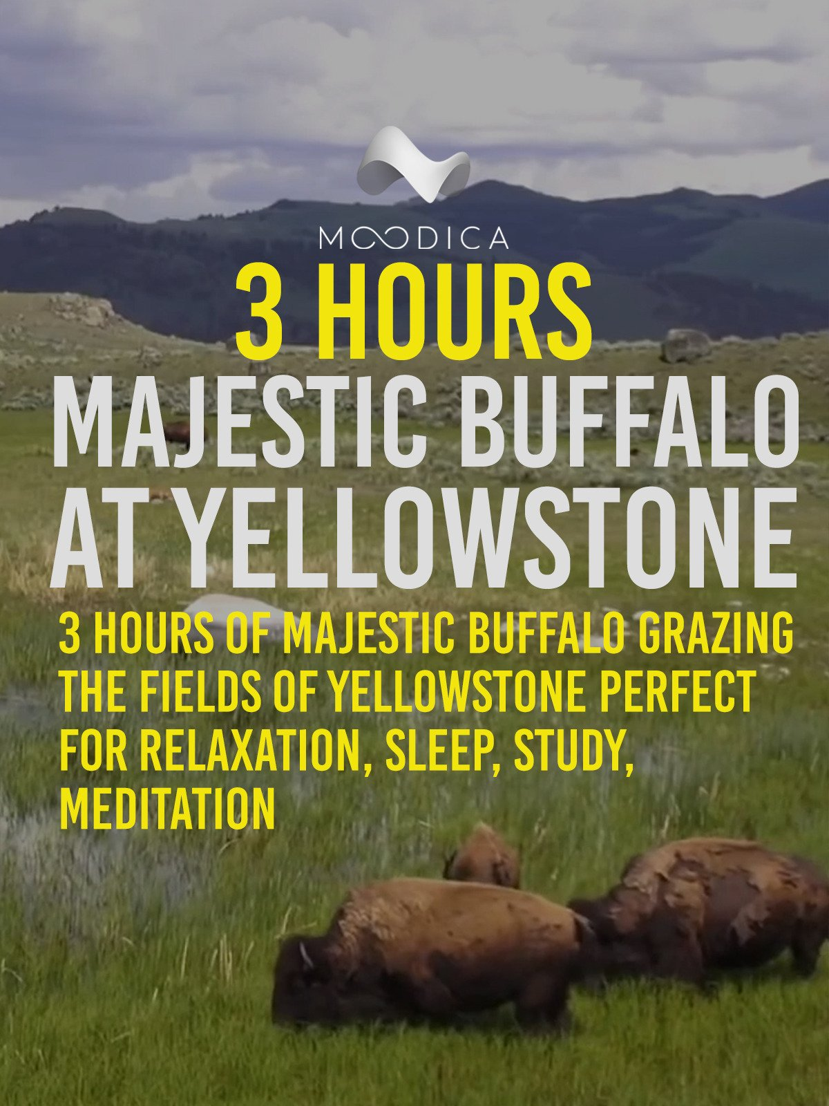 3 Hours: Majestic Buffalo At Yellowstone: 3 Hours Of Buffalo Grazing: Perfect For Relaxation, Sleep, Study, Meditation