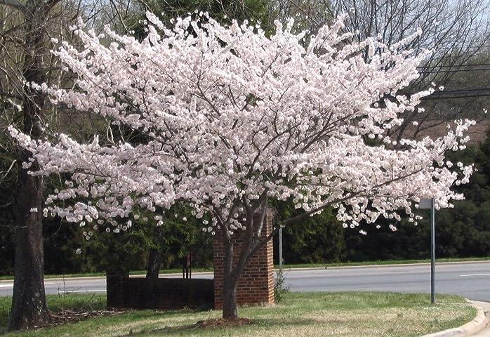 Flowering Yoshino Cherry Tree