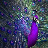 Peacock Diamond Painting,5D DIY Diamond Painting Accessories Diamond Cross Stitch Kits Embroidery Paintings Rhinestone Pasted Cross Stitch for Adults or Kids by Pausseo-30x30cm (Color: Multicoloured, Tamaño: One Size)
