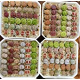 Micro Landscape Design Rare Authentic Lithops Seed Kit/Pack of 25 Seeds Plus Live Seedlings and Germination Kit/Guarantee Excellent Germination Rate (Pack 25 + 3 Live Seedlings + Germination Kit) (Color: Green, Tamaño: Pack 25 + 3 Live Seedlings + Germination Kit)