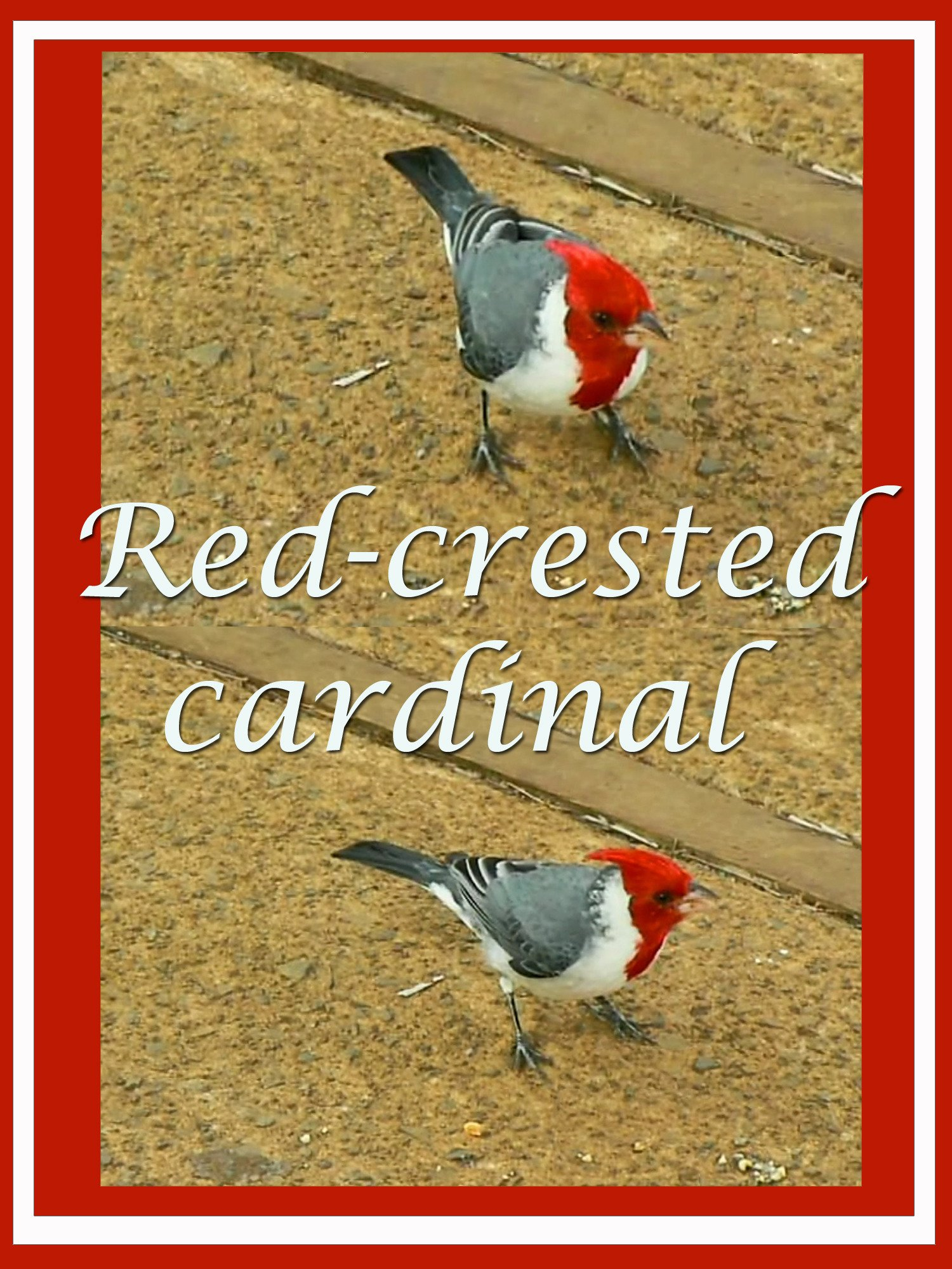 Clip: Red-crested cardinal