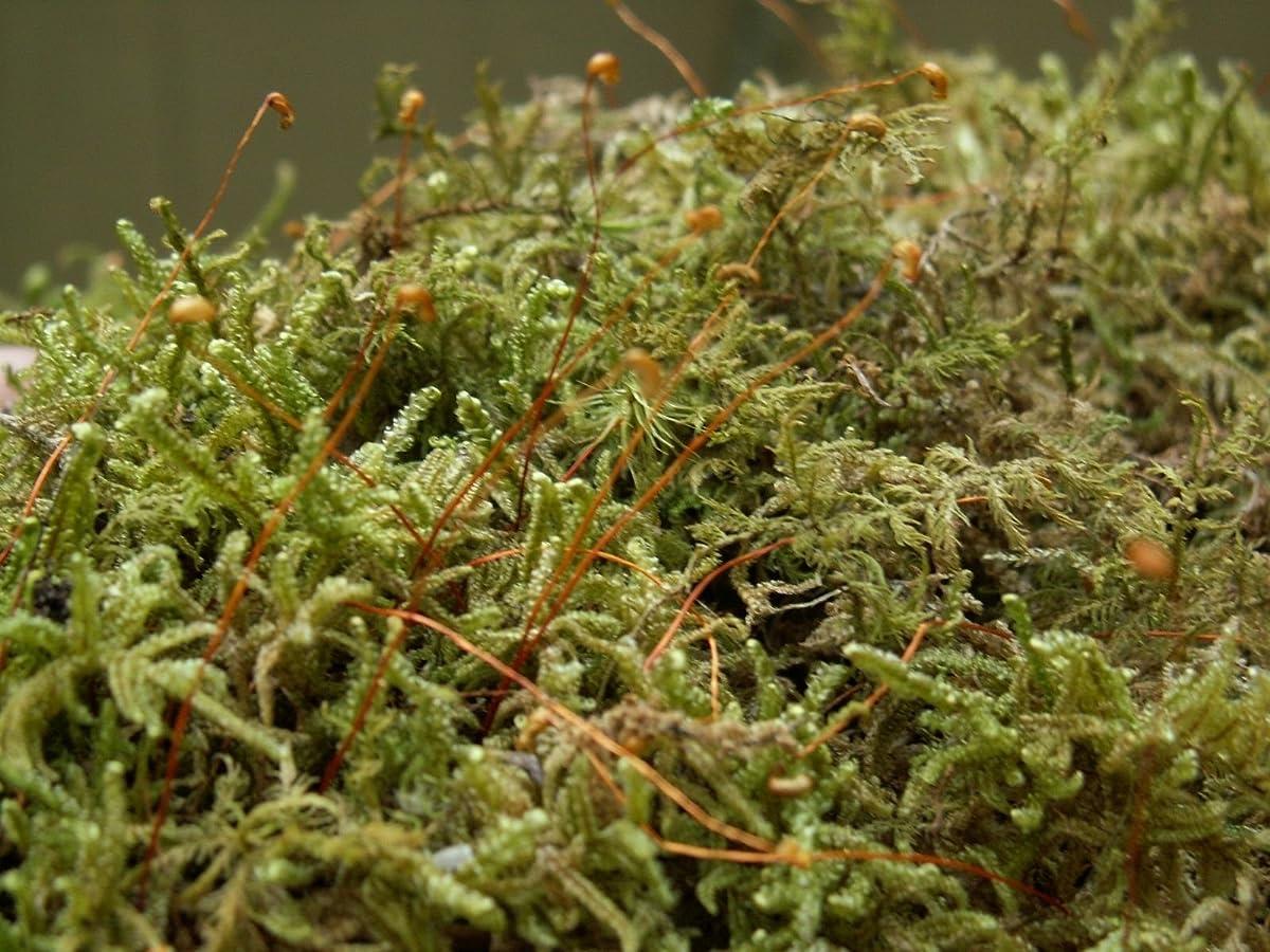 Appalachian Emporiums Moss Grow Transplant Craft 1qt Sheet Moss