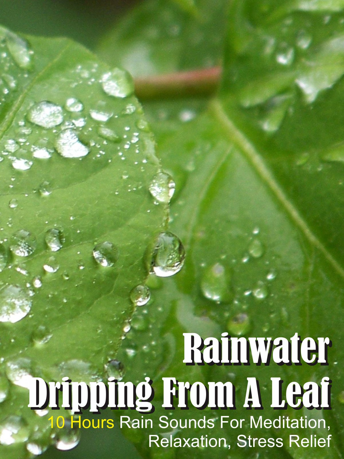 Rainwater Dripping from a Leaf