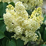 Primrose Yellow French Lilac ( syringa ) - Live Plant - Quart Pot