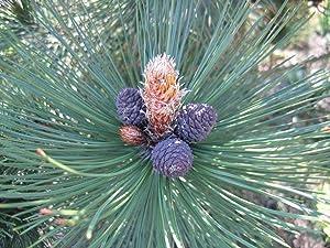 Bosnian Pine Tree Seeds