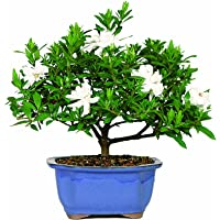 Gardenia Bonsai Tree (DT0107G)