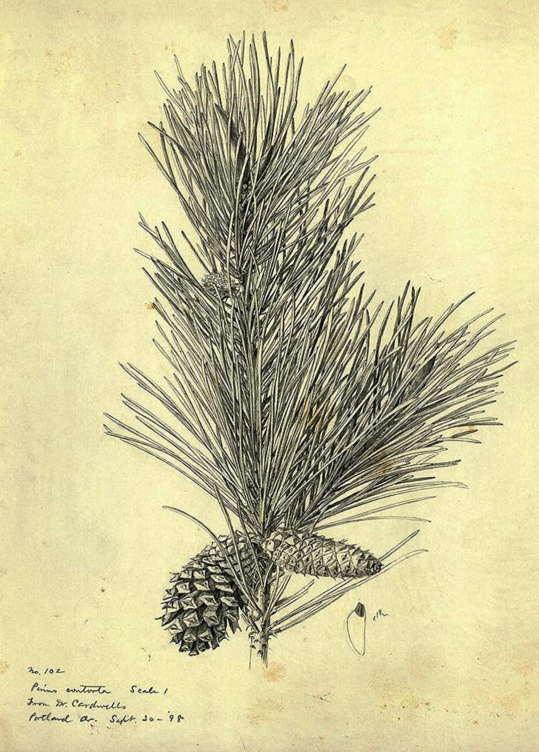 Кухонный аксессуар Vintage Botanical Drawing of a Pine Branch: Box of 15 Holiday Cards