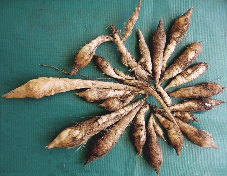 Maranta Arundinacea l Rare Maranta Arundinacea